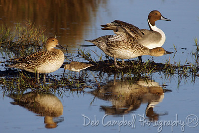 Northern Pintail Ducks. Male and Female with a Willet Black Point Wildlife Drive Merritt Island Wildlife Refuge Titusville, Florida