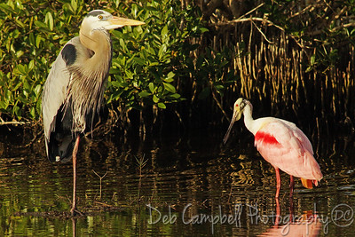 Great Blue Heron and Roseate Spoonbill Bio-Lab Road Merritt Island Wildlife Refuge Titusville, Florida