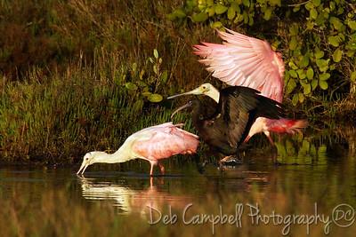 Roseate Spoonbill and Glossy Ibis Bio-Lab Road Merritt Island Wildlife Refuge Titusville, Florida