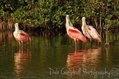 Roseate Spoonbills Bio-Lab Road Merritt Island Wildlife Refuge Titusville, Florida