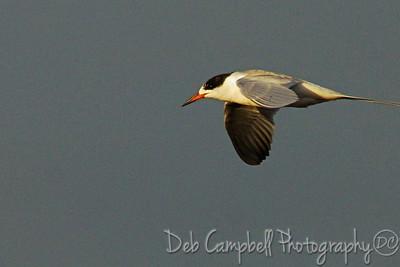 Forster's Tern Bio-Lab Road Merritt Island Wildlife Refuge Titusville, Florida