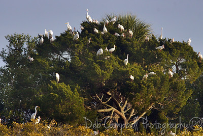 Morning Roosting Tree Bio-Lab Road Merritt Island Wildlife Refuge Titusville, Florida