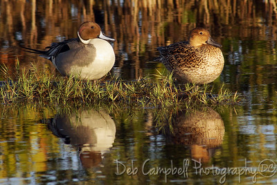 Northern Pintail Ducks. Male and Female Black Point Wildlife Drive Merritt Island Wildlife Refuge Titusville, Florida