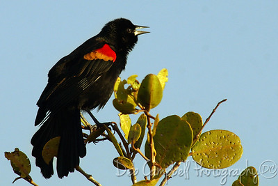 Male Red Winged Blackbird Bio-Lab Road Merritt Island Wildlife Refuge Titusville, Florida