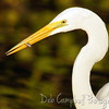 Great White Egret with a little snack Bio-Lab Road Canavaral National Seashore Titusville, Florida