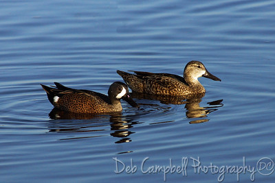 Blue Winged Teal Ducks. Male and Female Black Point Wildlife Drive Merritt Island Wildlife Refuge Titusville, Florida