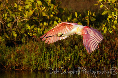 Roseate Spoonbill in flight Bio-Lab Road Merritt Island Wildlife Refuge Titusville, Florida