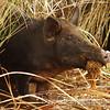 Wild Pig<br /> Bio-Lab Road<br /> Merritt Island Wildlife Refuge<br /> Titusville, Florida