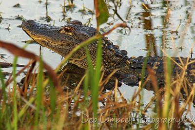 American Alligator Ritch Grissom Memorial Wetlands Viera Wetlands Melbourne, Florida