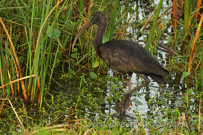 Glossy Ibis Ritch Grissom Memorial Wetlands Viera Wetlands Melbourne, Florida