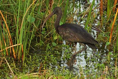 Glossy Ibis Ritch Grissom Memorial Wetlands Viera Wetlands Melbourne, Florida
