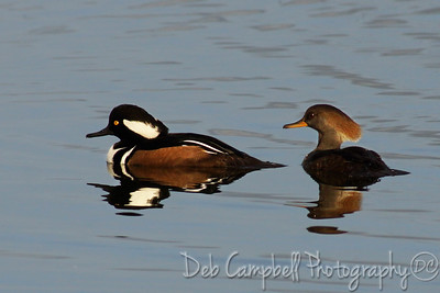 Hooded Merganser male and female Ritch Grissom Memorial Wetlands Viera Wetlands Melbourne, Florida
