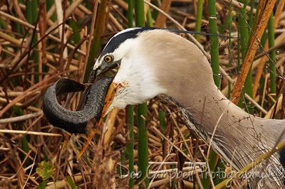 Great Blue Heron eating an eel. Ritch Grissom Memorial Wetlands Viera Wetlands Melbourne, Florida