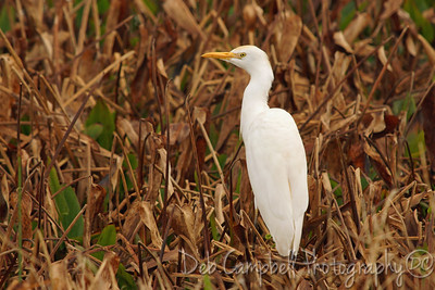 Cattle Egret Ritch Grissom Memorial Wetlands Viera Wetlands Melbourne, Florida