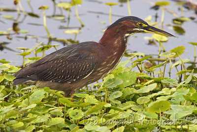 Green Heron Ritch Grissom Memorial Wetlands Viera Wetlands Melbourne, Florida