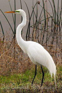 Great White Egret Ritch Grissom Memorial Wetlands Viera Wetlands Melbourne, Florida