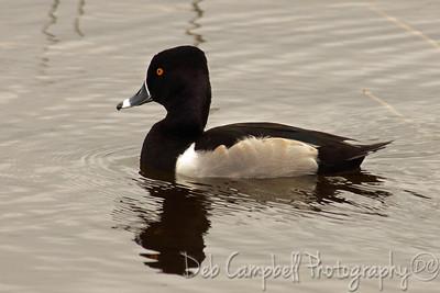Ring Neck Duck-Male Ritch Grissom Memorial Wetlands Viera Wetlands Melbourne, Florida