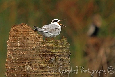 Forster's Tern Ritch Grissom Memorial Wetlands Viera Wetlands Melbourne, Florida