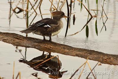 Hooded Merganser-Female Ritch Grissom Memorial Wetlands Viera Wetlands Melbourne, Florida
