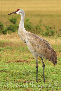 Sandhill Crane Ritch Grissom Memorial Wetlands Viera Wetlands Melbourne, Florida