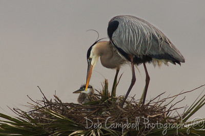 Great Blue Heron with chick Ritch Grissom Memorial Wetlands Viera Wetlands Melbourne, Florida