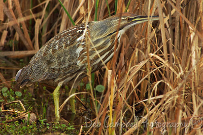 American Bittern Ritch Grissom Memorial Wetlands Viera Wetlands Melbourne, Florida