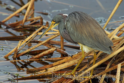 Tri Colored Heron Ritch Grissom Memorial Wetlands Viera Wetlands Melbourne, Florida