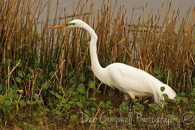Great White Egret Ritch Grissom Memorial Wetlands Viera Wetlands Melbourne, Florida