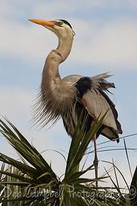 Great Blue Heron in breeding plumage Ritch Grissom Memorial Wetlands Viera Wetlands Melbourne, Florida