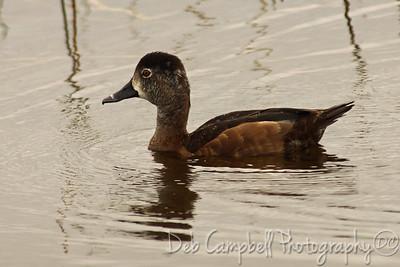 Ring Neck Duck-Female Ritch Grissom Memorial Wetlands Viera Wetlands Melbourne, Florida