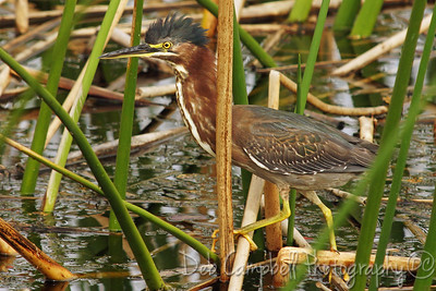 Green Heron Ritch Grissom Memorial Wetlands Viera Wetlands Melbourne, Florida