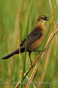 Female Boat Tailed Grackle Ritch Grissom Memorial Wetlands Viera Wetlands Melbourne, Florida