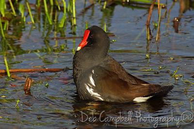 Common Moorhen Ritch Grissom Memorial Wetlands Viera Wetlands Melbourne, Florida