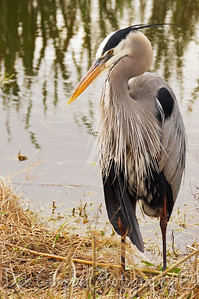 Great Blue Heron in Breeding plumage Ritch Grissom Memorial Wetlands Viera Wetlands Melbourne, Florida