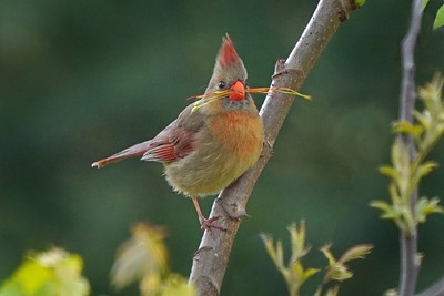 Norther Cardinal Female with nesting material
