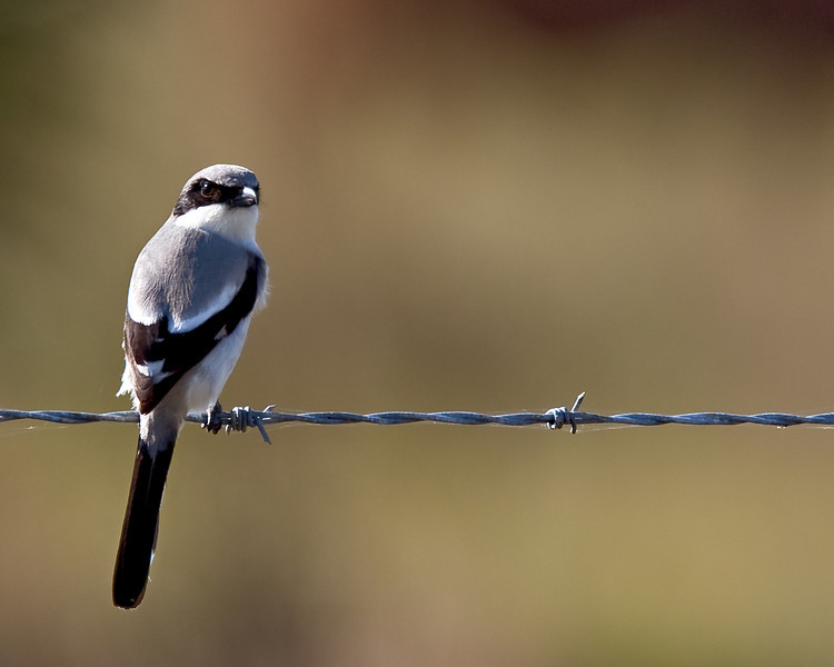 Harry's northern Shrike