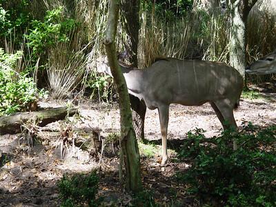Greater Kudu [female]