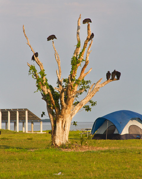 Even at the coast it was solid ground and a few big trees full of Black Vultures.  I wonder how these campers felt being nearly under the scavengers?  Happily I also watched a pair of Swallow-tailed Kites performing acrobatics near here.  Beautiful birds!  April, 2016.