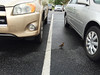 After 2 days and a 1000 miles I arrived at the kid's (Kent and Maria) home in Virginia.  When I stopped at the Harris Teeter food store in the rain, this tiny duckling and it's family were waddling around the parking lot. Doesn't it look fragile?  April, 2016.