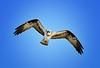 Osprey, Cedar Key