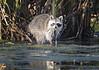 Raccoon at Chassahowitzka river