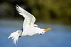 Tern flying upside down, Ft DeSoto