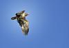 Juvenile Bald Eagle, Chassahowitzka river