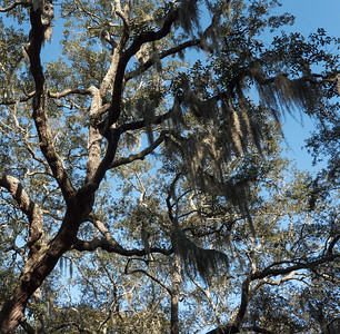 Live oaks and hanging Spanish moss, hallmark of Savannah's foliage.