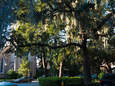 Thelive  oaks of Savannah are draped with hanging Spanish  moss.