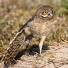 Wing stretch by juvenile Burrowing Owl