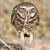 Adult Burrowing Owl enjoys a frog leg