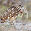 Adult Burrowing Owl with frog
