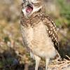 Yawn by juvenile Burrowing Owl