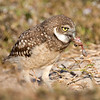 Juvenile Burrowing Owl dining on frog
